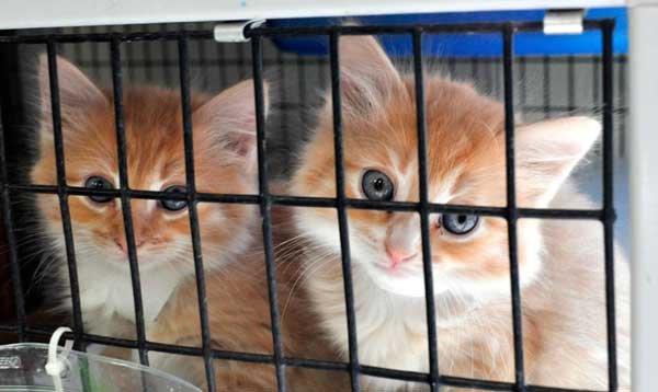 Shelby Humane Society report 2013 kittens