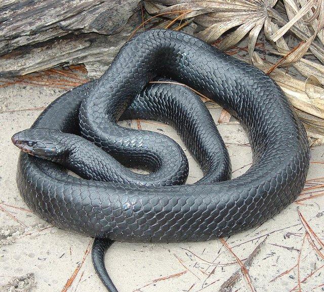 1134px-Eastern_Indigo_Snake.jpg