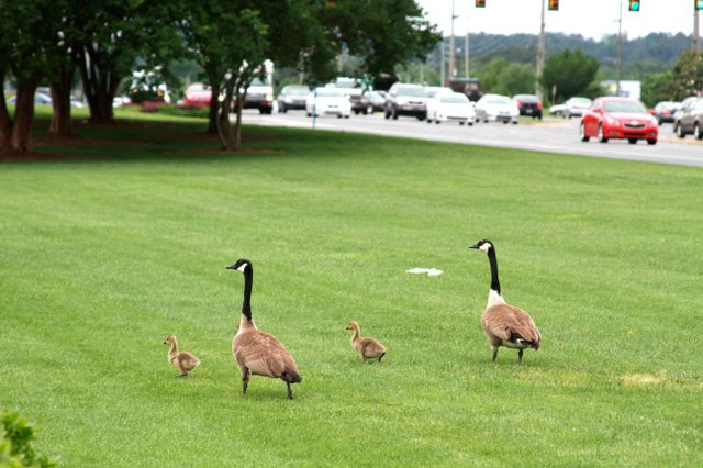 0614 Geese