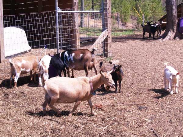 0814 Goats